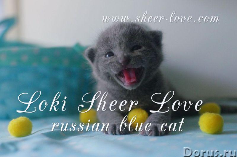 Loki Sheer Love - русский голубой котенок от Чемпиона Мира WCF в Краснодаре/ питомник Sheer Love - К..., фото 1