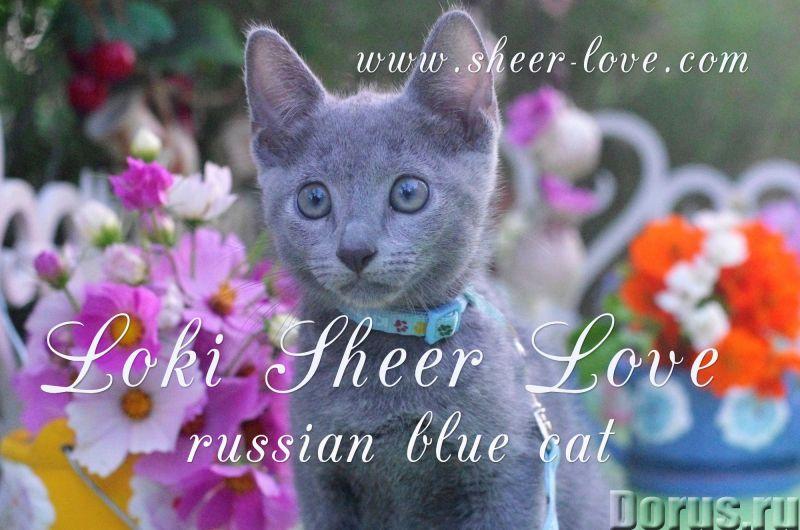 Loki Sheer Love - русский голубой котенок от Чемпиона Мира WCF в Краснодаре/ питомник Sheer Love - К..., фото 4