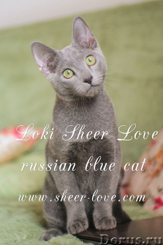 Loki Sheer Love - русский голубой котенок от Чемпиона Мира WCF в Краснодаре/ питомник Sheer Love - К..., фото 5